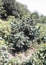 outdoor marijuana grow example